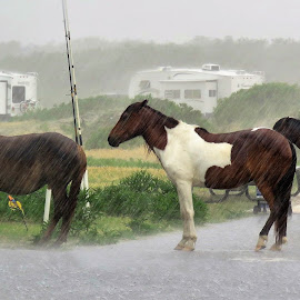 Wild horses in a  rain storm by Mary Gallo - Animals Horses ( wild, nature, horses, state park, wildlife, weather, storm, assateague, rain, animal )
