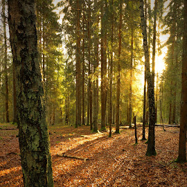 The Light Pointing On The Tree by Sami Rahkonen - Landscapes Forests ( wood, flora, colors, beautiful, forest, sunlight, landscape, wilderness, tree, nature, summer, trees, light, sunbeam )