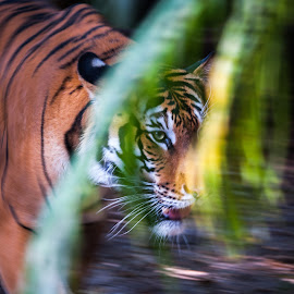 Tiger in motion by Maurizio Riccio - Animals Lions, Tigers & Big Cats ( big cat, nature, tiger, stalking, feline, motion, stalker )