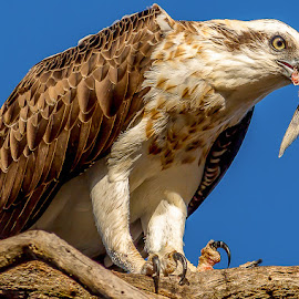 Face full of fish tail by Shayne Sim - Animals Birds ( eagle, bird of prey, eating, raptor, osprey,  )
