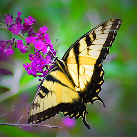 Eastern Tiger Swallowtail by Bill Martin - Animals Insects & Spiders ( small, delicate, macro, color, nature, butterfly, wings, yellow, purple )