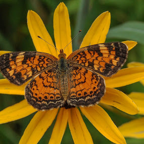 Colorful Wingspread by Robert Coffey - Animals Insects & Spiders ( orange, butterfly, petals, wings, black, flower,  )