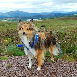 Sheltie of the Highlands by Fiona Etkin - Animals - Dogs Portraits ( scotland, mountains, scottish highlands, nature, shetland sheepdog, landscape, dog, sheltie )