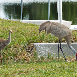 Sandhill Crane and baby by Donna Probasco - Novices Only Wildlife