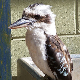 Kookaburra by Sarah Harding - Novices Only Wildlife ( bird, nature, outdoors, novices only, wildlife )