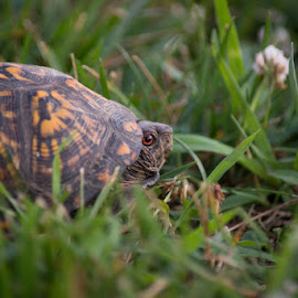 Is it safe? by Mike Rushing - Animals Amphibians ( box turtle )