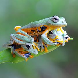 Tree Frog by Kurit Afsheen - Animals Amphibians ( macro, animals, frog, tree frog, amphibian, closeup )