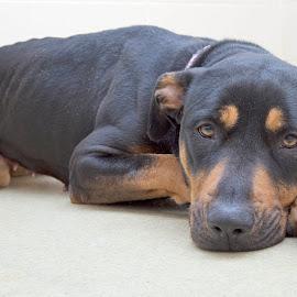 Lena - A Shelter Dog by Ginger Wlasuk - Animals - Dogs Portraits ( shelter, shelter dog, rescue, rottweiler )