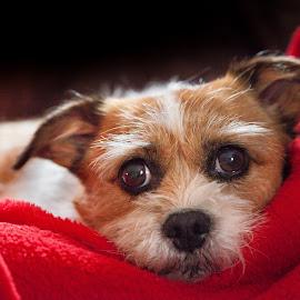 by Thomas Berwein - Animals - Dogs Portraits