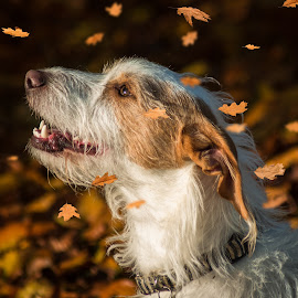 Autumn Terrier by Vix Paine - Animals - Dogs Portraits ( outdoor photography, park, lead, leaf, leaves, sun, playing, autumn time, autumn, sunset, outdoor, trees, dog,  )