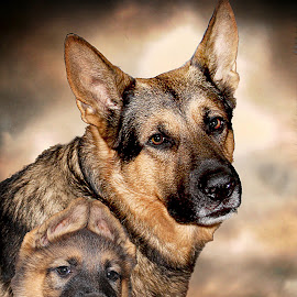 Growing up by Dawn Vance - Digital Art Animals ( digital art, pup, german shepherd dog, son, dog, portrait, sable, father )