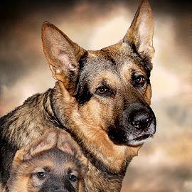 Growing up by Dawn Vance - Digital Art Animals ( digital art, pup, german shepherd dog, son, dog, portrait, sable, father )