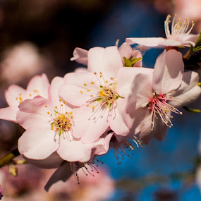 Almonds blooms  by Inma  Monte Picante - Nature Up Close Flowers - 2011-2013