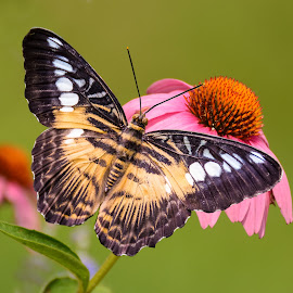 Butterfly On Coneflower by Maggie Magee Molino - Animals Insects & Spiders ( butterfly, but, pink, coneflower, insect )