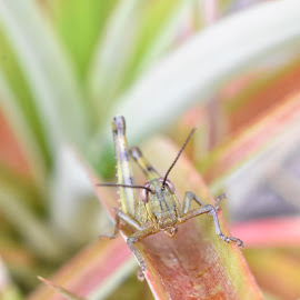 Grasshopper Nymph by Sharon Cislowski - Animals Insects & Spiders ( plant, nature, wildlife, insect, grasshopper,  )