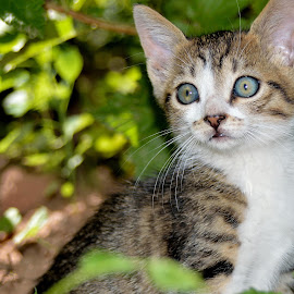 Little Tiger by Sonja VN - Animals - Cats Kittens ( kitten, leaves, garden, portrait )