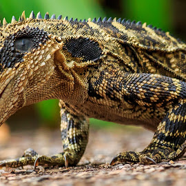 Dragon's dinner time by Shayne Sim - Animals Reptiles ( lizard, dragon, feeding, wildlife, reptile,  )