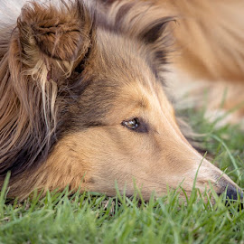 Contemplating by Wendy Allport - Animals - Dogs Portraits ( pet portrait, collie, rough collie, pet, beautiful, fur, puppy, lassie, dog, nose, eyes, animal )