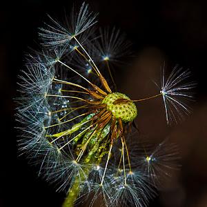partl dndeln seed head wet y.jpg
