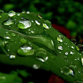 tears of heaven by Adriana Petcu - Nature Up Close Leaves & Grasses ( macro, nature, green, drops, leaf, rain, tears )