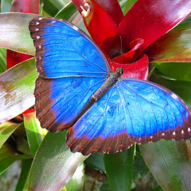 Blue Morpho on Bromilaid by Rita Goebert - Animals Insects & Spiders ( blue butterflies; morpho; brown undersides; bulls eye dots; banana lovers; gainesville; florida; florida natural history museum; february 2017; )