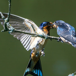 Feeding Barn Swallows by Antonio Winston - Animals Birds