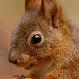 Close up by Cédric Guere - Animals Other ( goblin, wild, red, tree, nature, white, wildlife, forest, beauty, cute, close up, squirrel, animal )