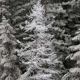 Natural Frosty Christmas by Richard Duerksen - Nature Up Close Trees & Bushes ( oregon, snow, christmas, white, frost, bend, hood )
