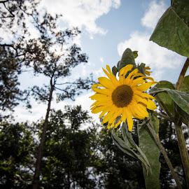 Sunflower by Sherisse Condenuevo - Uncategorized All Uncategorized ( blue sky, flower with stem, sunflower blue sky, positivity, happy, yellow flower, trees, sunflower, good vibes, flower, flower and blue sky )