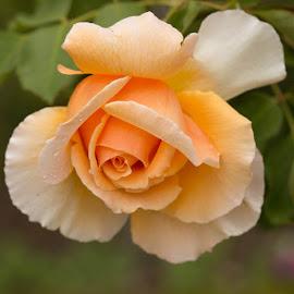 Pale Peach by Janet Marsh - Flowers Single Flower ( orange, rose, filoli )