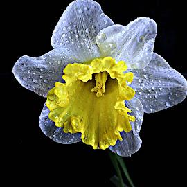 Affodil by Pieter J de Villiers - Flowers Single Flower