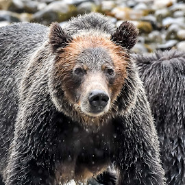 Wet Moma bear by Darren Sutherland - Animals Other Mammals