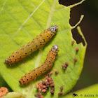 Dogbane Saucrobotys moth (larvae)