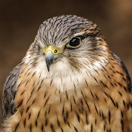 Merlin by Garry Chisholm - Animals Birds ( bird, garry chisholm, nature, merlin.raptor, wildlife, prey )
