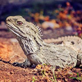 Tuatara NZ by Karissa Best - Animals Reptiles ( extinct, rare, newzealand, endangered, wildlife, tuatara )