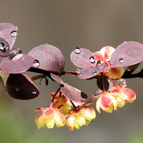 Berberis thunbergii 'Rose Glow' with droplets by Val  Ford - Nature Up Close Flowers - 2011-2013