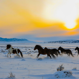 Wild horses running in the snow by Aaron Steele - Animals Horses