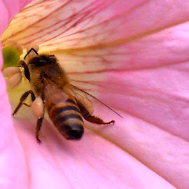 Busy bee by Richard Booysen - Animals Insects & Spiders