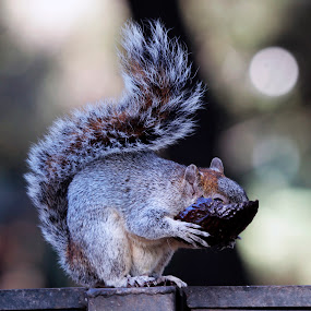 Squirrel by Cristobal Garciaferro Rubio - Animals Other ( avocado, eating, eat, bokeh, squirrel )