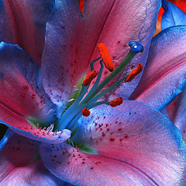 Lily Centre by Chrissie Barrow - Flowers Single Flower ( stigma, macro, red, single, stamens, blue, petals, centre, pink, flower )