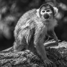Squirrel Monkey by Jack Lewis McClure - Animals Other Mammals ( black and white, primate, squirrel monkey, close up, monkey )