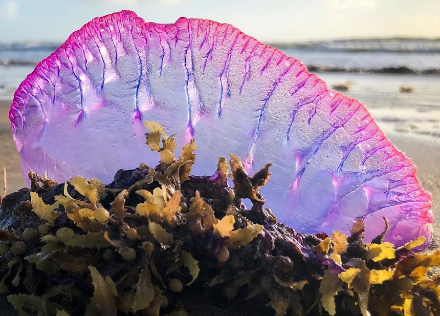 Portuguese Man of War  by Edison Pargass - Uncategorized All Uncategorized ( siphonophore, man of war, trinidad, mayaro, jellyfish )