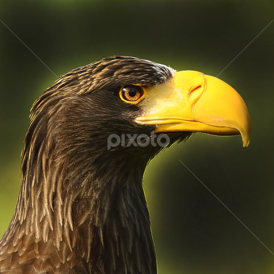 Gros bec by Gérard CHATENET - Animals Birds