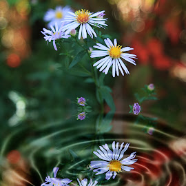 Bokeh Daisy by Len  Janes - Digital Art Things ( water, colour, pool, reflections, daisy, flowers, bokeh, whirlpool, garden )