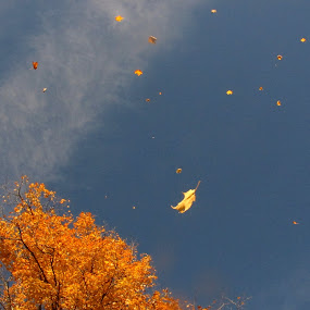 Look!  Up in the Sky!! by Dorothy Koval - Nature Up Close Leaves & Grasses ( wind, flying, sky, wind blown, foliage, fall, falling, vermont, autmn, leaves, golden, nature, autumn, abscission, folliage )