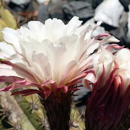 Cactus Blooms by Chris Seaton - Digital Art Things ( blooms, flowers, watercolor, cactus, flora )