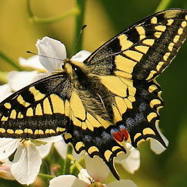 Swallowtail Butterfly by Frank Gray - Animals Insects & Spiders