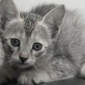 Tiny stare by Praveen Premkumar - Animals - Cats Kittens ( kitten, cat, naughty, tender, cute, smart )