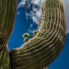 Saguaro Cactus by Ken Mickel - Nature Up Close Other plants ( bloosom, desert, white tanks regional park, cacti, arizona, saguaro, cactus )