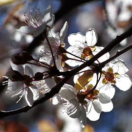 Blossoms by Sarah Harding - Novices Only Flowers & Plants ( plant, nature, outdoors, novices only, flower )
